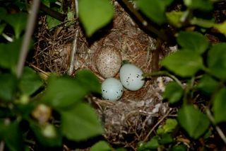 Nest and Eggs (2)