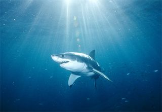 Great-white-shark