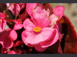 Begonia_semperflorens_wax_begonia_flower_30-06-11_1