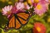 Butterflymums_1
